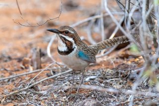 Long-tailed_Ground_Roller.jpg