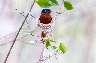Madagascar_Paradise_Flycatcher.jpg