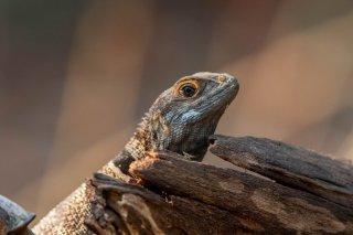 Madagascar_Spiny-tailed_Iguana.jpg