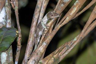 Mossy_Leaf-tailed_Gecko.jpg