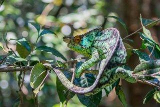 Parsons_Chameleon.jpg