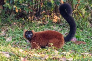 Red_Ruffed_Lemur.jpg