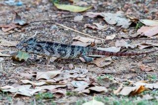 Short-horned_Chameleon.jpg