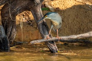 Striated_Heron.jpg
