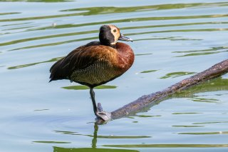 White-faced_Whistling_Duck.jpg