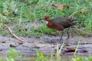 White-fronted_Rail.jpg