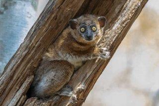 Zombitse_Sportive_Lemur.jpg
