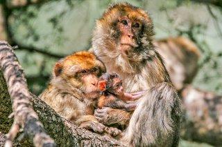 Barbary-Macaque.jpg