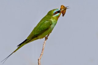Blue-cheeked-Bee-eater.jpg