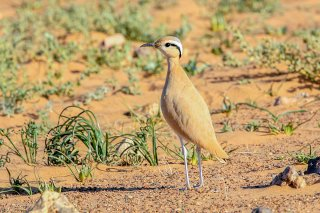 Cream-coloured-Courser.jpg