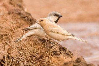 Desert-Sparrow.jpg