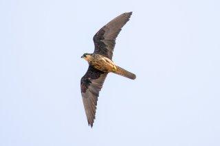 Eleonara-Falcon.jpg