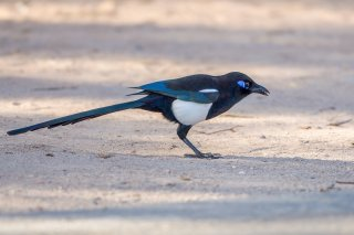 Eurasian-Magpie-(mauritanica).jpg