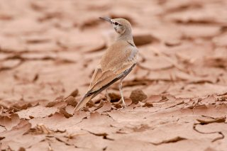 Greater-Hoopoe-Lark.jpg