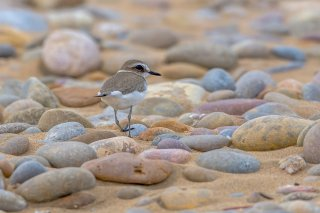 Kentish-Plover.jpg