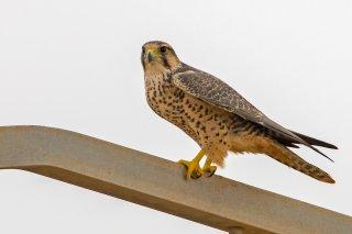 Lanner-Falcon.jpg