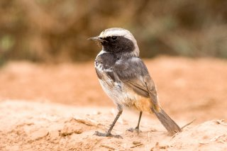 Red-rumped-Wheatear.jpg