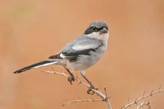 Southern-Grey-Shrike.jpg