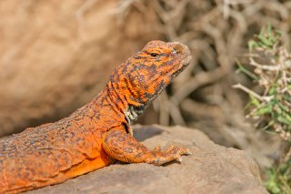 Spiny-Tail-Lizard.jpg