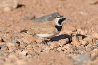 Temmincks-Horned-Lark.jpg