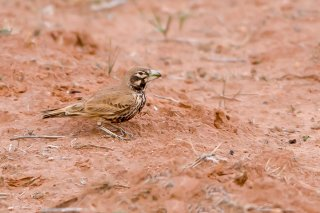 Thick-billed-Lark.jpg