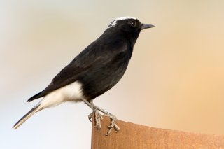 White-crowned-Black-Wheatear.jpg
