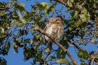 Asian Barred Owlet - Glaucidium cuculoides