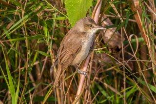 Clamorous Reed Warbler - Acrocephalus stentoreus