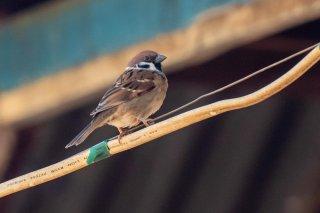 Eurasian Tree Sparrow - Passer montanus
