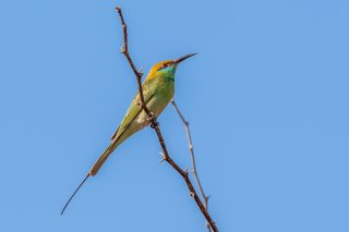 Green Bee-eater - Merops orientalis