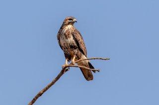 Himalayan Buzzard - Buteo burmanicus