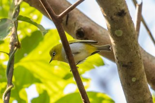 Japanese White-eye - Zosterops Japoñicus