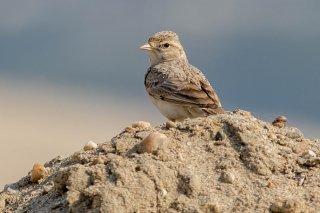 Sand Lark - Alaudala raytal