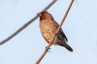 Scaly-breasted Munia - Lonchura punctulata