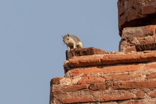 Squirrel on Temple