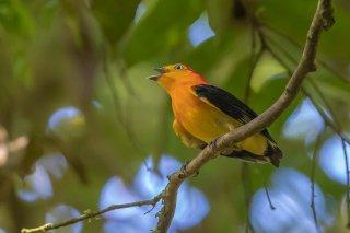 Band-tailed-Manakin.jpg