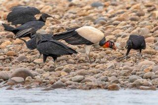 Black-Vulture-King-Vulture.jpg