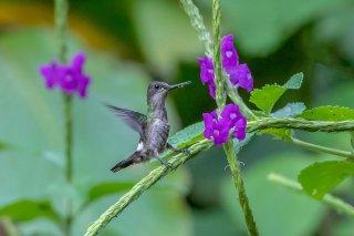 Black-bellied-Thorntail-f.jpg
