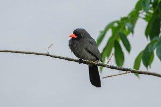 Black-fronted-Nunbird.jpg