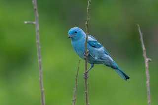 Blue-grey-Tanager.jpg