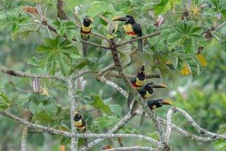 Chestnut-eared-Aracari.jpg