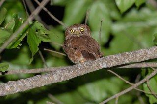 Ferruginous-Pygmy-Owl.jpg