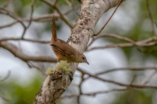 Rufous-fronted-Thornbird.jpg