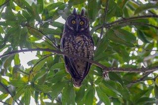 Stygian-Owl.jpg