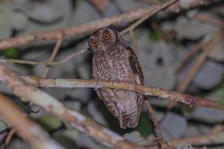 Tawny-bellied-Screetch-Owl.jpg