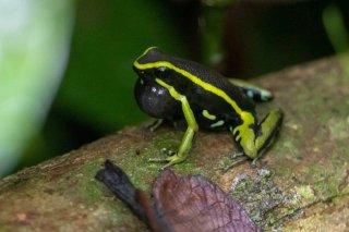 Three-striped-poisoned-dart-frog.jpg
