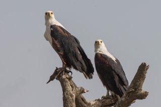 African-Fish-Eagle.jpg