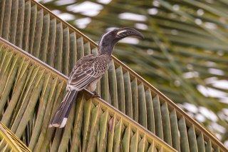 African-Grey-Hornbill.jpg