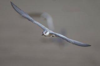 Black-Tern.jpg