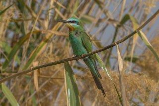 Blue-cheeked-Bee-eater.jpg